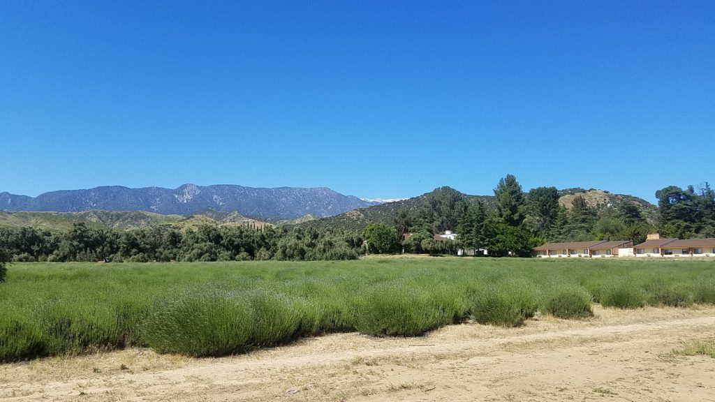 123 Farm at Highland Springs Rance & Inn, Lavender Festival