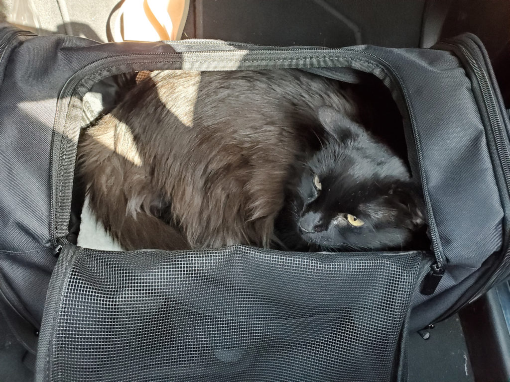 Traveling Cat, Benson, on a car ride to the desert